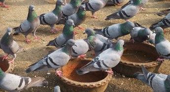 Pigeons-Green